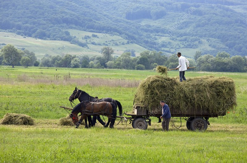 Harvesting using horses and cart