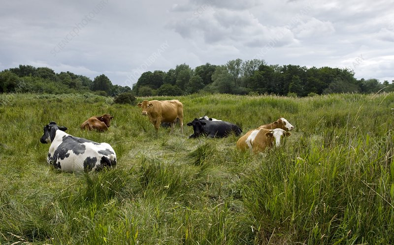 Cattle grazing in Suffolk