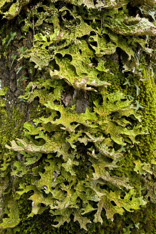 Tree lungwort (Lobaria pulmonaria)