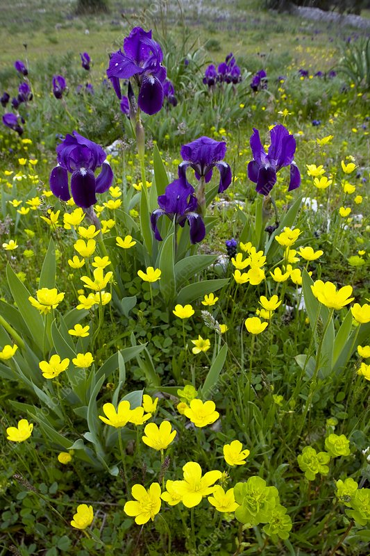 Iris lutescens and Ranunculus