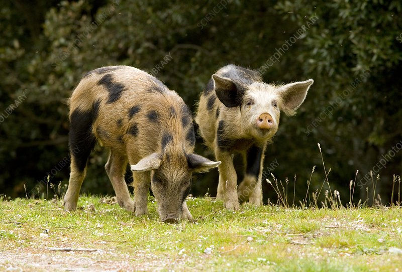 Piglets foraging in woodland