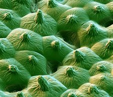 Lotus leaf surface, SEM