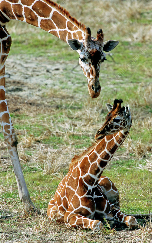 Reticulated Giraffe with calf