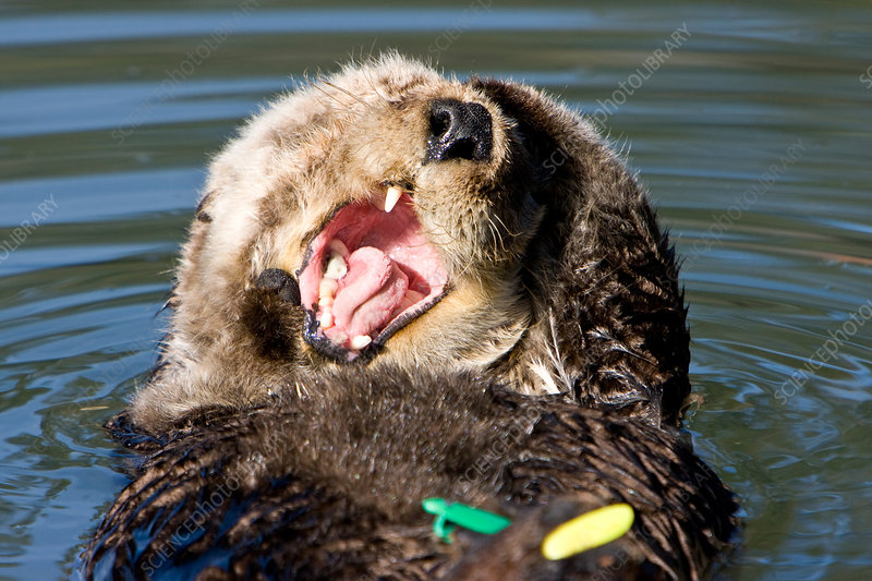 Tagged Sea Otter
