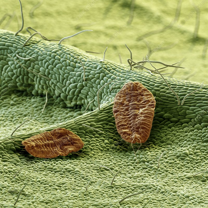 Scale insects, SEM