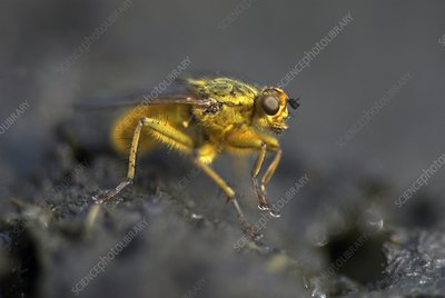 Male yellow dung fly