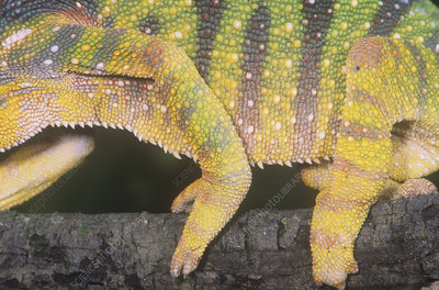 Panther Chameleon feet