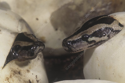 Burmese Pythons hatching from eggs