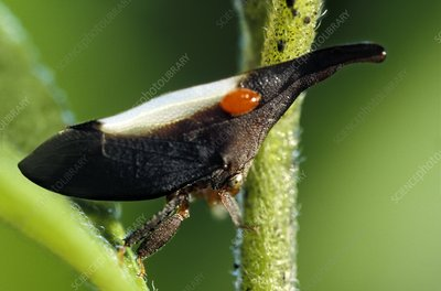 Treehopper and louse