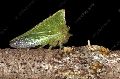 Treehopper and eggs