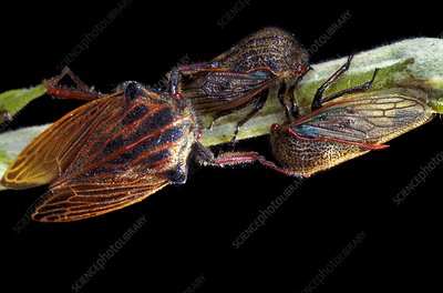 Treehoppers mating