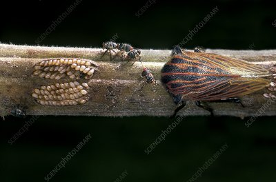 Treehopper and young