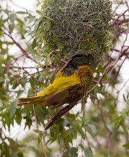 A male Cape Weaver