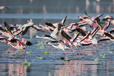 Lesser flamingos taking off