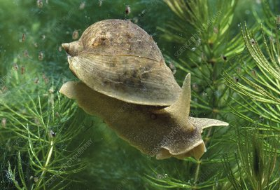 Wandering pond snail