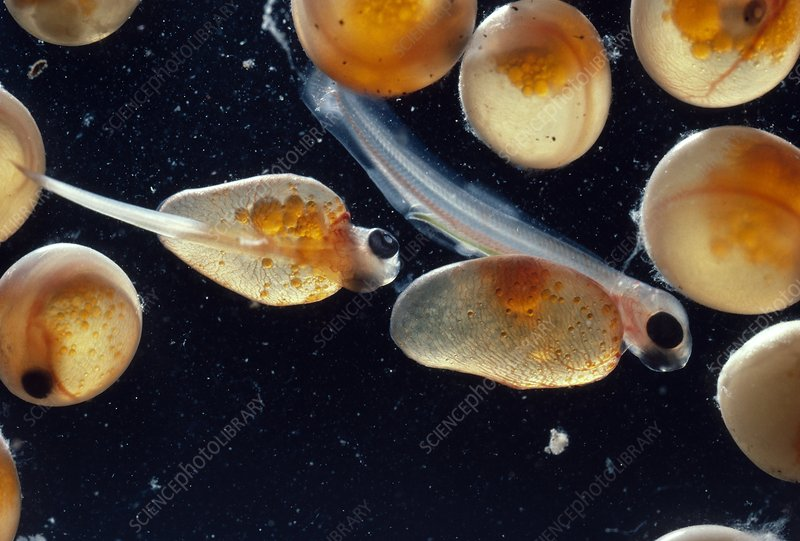 Salmon eggs hatching