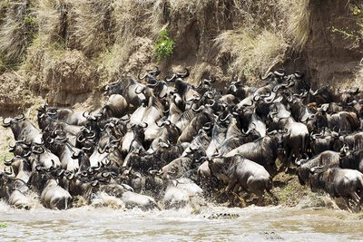 Wildebeest migrating