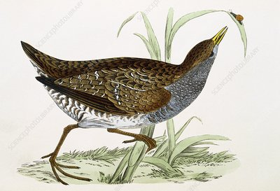 Spotted crake, 19th century artwork