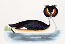 Great crested grebe, 19th century artwork