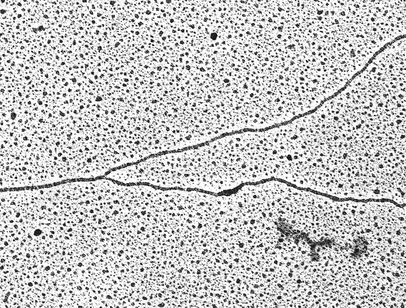 DNA forming a replication fork, TEM