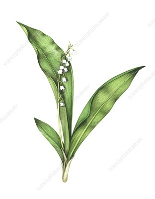 Lily of the valley, artwork