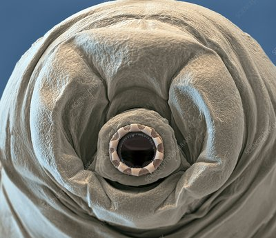 Water bear mouth