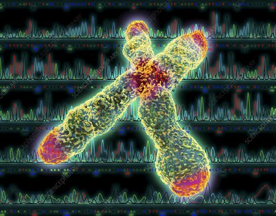 X chromosome, centromere and telomeres