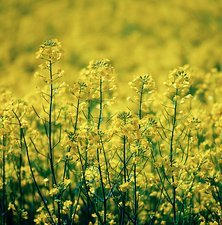 Canola oilseed rape plants
