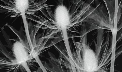 Thistle (Eryngium 'Orion') flowers, X-ray