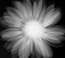 Gerbera sp. flower, X-ray