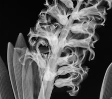 Hyacinth (Hyacinthus sp.) flowers, X-ray