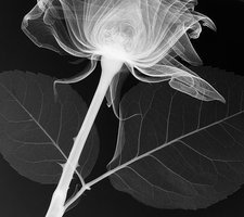 Rose (Rosa 'Grand Prix'), X-ray