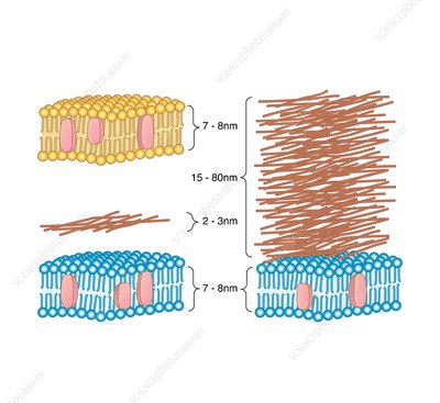 Bacterial cell wall comparison, artwork