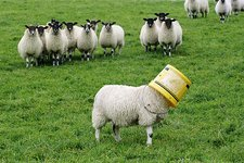 Sheep with a bucket on its head