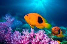 Red saddleback anemonefish and soft coral