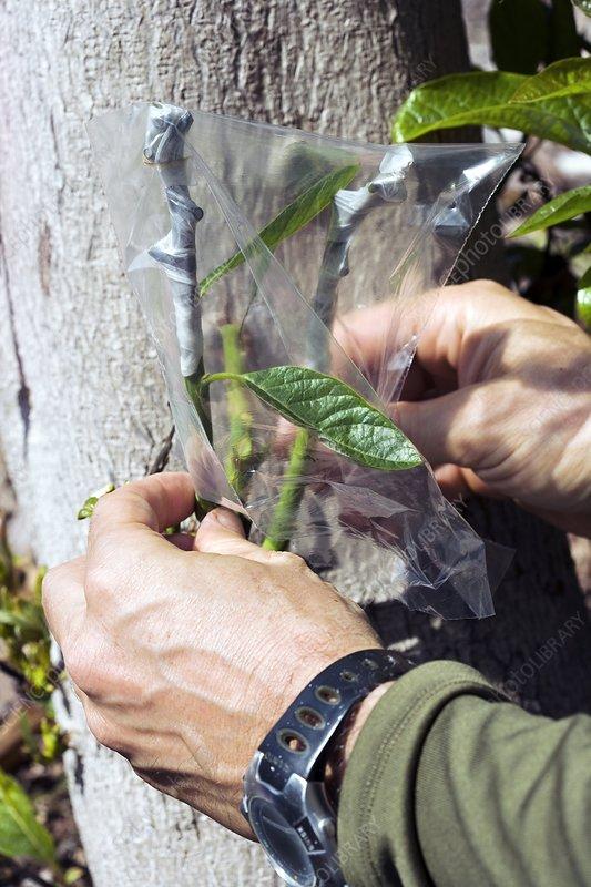 Grafting An Avocado Tree Stock Image C007 1126