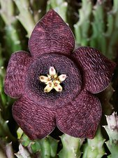Orbea carrion flower