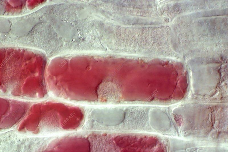 Wheat root meristem, light micrograph