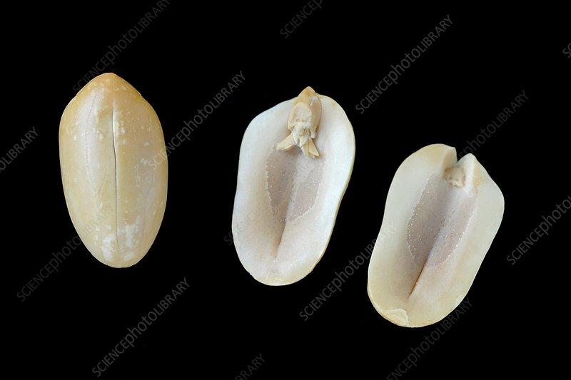 Peanut anatomy