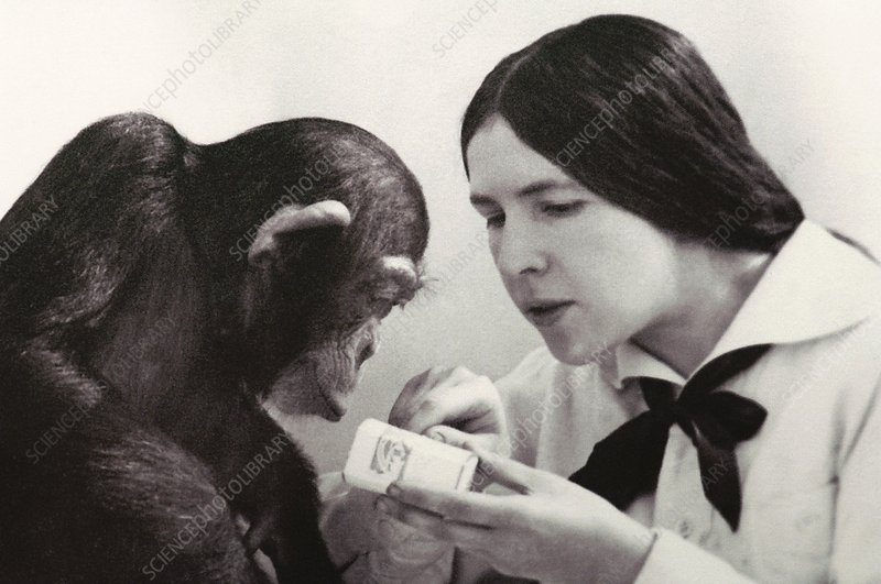 Ladygina-Kots with fostered chimp