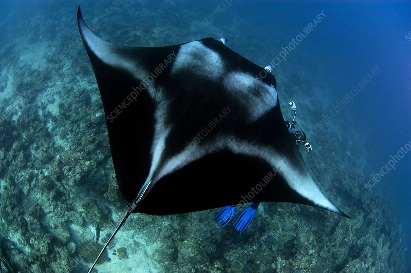 Manta ray and photographer