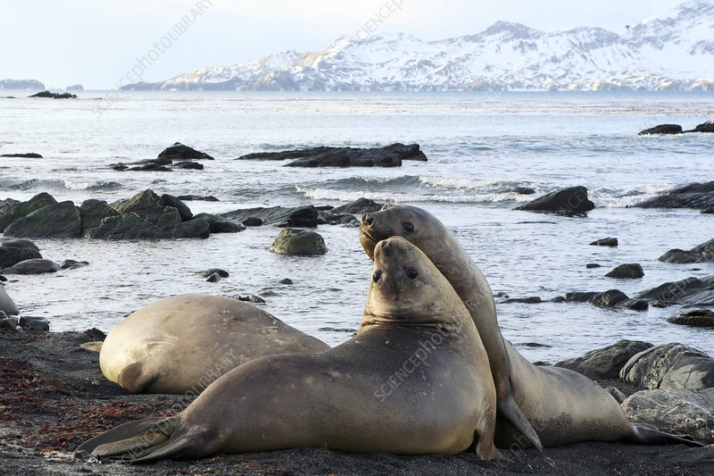 Southern elephant seals sparring