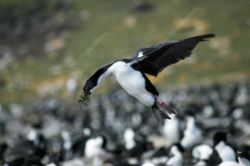 Imperial shag with nesting material