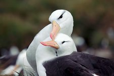 Black-browed albatrosses courting