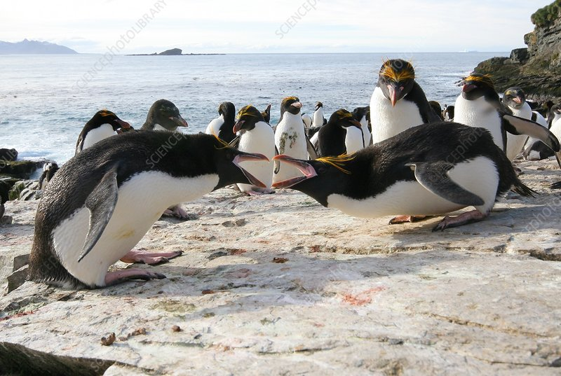 Macaroni penguin breeding display