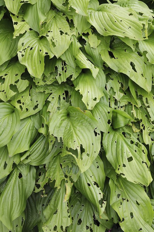 Slug and snail damage to Hosta