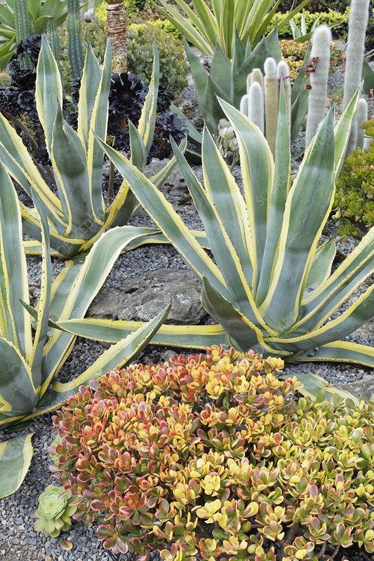 Display of succulents in garden