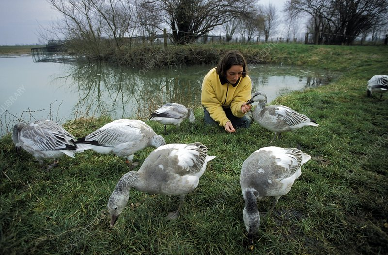 Carer with young snow geese