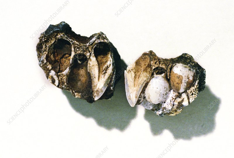 Fossilised prehistoric hominid teeth
