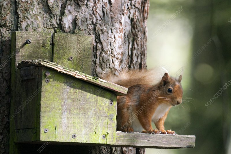 Red squirrel at a feeding station